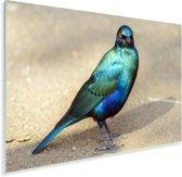 Een blauwgroene spreeuw staand op de grond Plexiglas 180x120 cm - Foto print op Glas (Plexiglas wanddecoratie) XXL / Groot formaat!