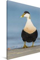 Foto van een eider bij het water Canvas 20x30 cm - klein - Foto print op Canvas schilderij (Wanddecoratie woonkamer / slaapkamer)