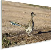 Renkoekoek op een droge vlakte Plexiglas 120x80 cm - Foto print op Glas (Plexiglas wanddecoratie)