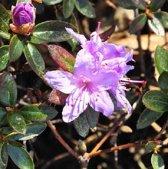 Rhododendron 'Moerheim' 20-30 cm in pot