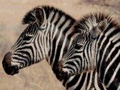 MyHobby Borduurpakket – Zebra's 40×30 cm - Aida 5,5 steken/cm - 100% katoen