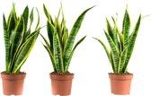 Choice of Green - 3 Sanseveria Trifasciata Laurentie oftewel Vrouwentong - Kamerplant in Kwekers Pot ⌀12 cm - Hoogte ↕30 cm