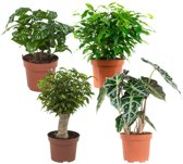 Choice of Green  - 4 Ficus, Koffieplant, Olifantsoor of Skeletplant, Ficus - Kamerplant in Kwekers Pot ⌀12 cm  -  Hoogte ↕23 cm