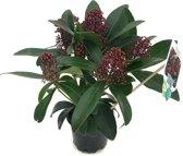 Skimmia japonica 'Rubella' - 30 cm hoog - potmaat 10 cm - 3 stuks