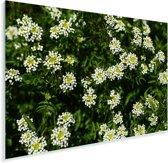 Witte bladeren van de witte waterkers planten in de natuur Plexiglas 90x60 cm - Foto print op Glas (Plexiglas wanddecoratie)