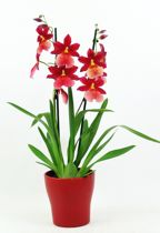 Inca Orchidee Nelly - Rood - met pot