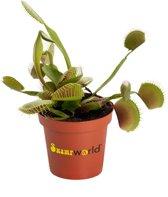 Swampworld Mini Venus vliegenval Dionaea Muscipula - Ø 6 cm ↕️ 7 cm