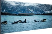 Groep orkas Aluminium 120x80 cm - Foto print op Aluminium (metaal wanddecoratie)