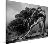 Zwart-wit foto van een jeneverbes Canvas 180x120 cm - Foto print op Canvas schilderij (Wanddecoratie woonkamer / slaapkamer) XXL / Groot formaat!