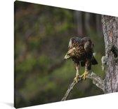 Steenarend opzoek naar voedsel Canvas 90x60 cm - Foto print op Canvas schilderij (Wanddecoratie woonkamer / slaapkamer)
