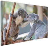 Twee koalaberen op tak Glas 30x20 cm - Foto print op Glas (Plexiglas wanddecoratie)