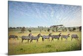 Een lijn van Zebras lopen op de savanne van het Nationaal park Serengeti in Tanzania Aluminium 90x60 cm - Foto print op Aluminium (metaal wanddecoratie)