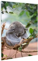 Zittende koala met bladeren Glas 40x60 cm - Foto print op Glas (Plexiglas wanddecoratie)