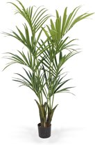 Kentia Palm Deluxe 165cm