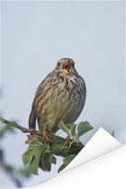 Grauwe gors is aan het zingen op een tak Poster 20x30 cm - klein - Foto print op Poster (wanddecoratie woonkamer / slaapkamer)