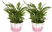 Lepelplant - Spathiphyllum Pearl Cupido mand rose