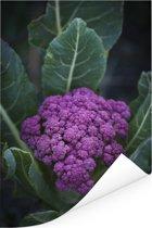 Een paarse bloemkool omringd door mooie bladeren Poster 20x30 cm - klein - Foto print op Poster (wanddecoratie woonkamer / slaapkamer)