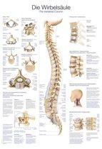 Het menselijk lichaam - anatomie poster wervelkolom (Duits/Engels/Latijn, papier, 50x70 cm) + ophangsysteem