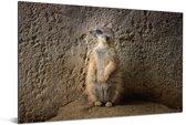 Stokstaartje zit rechtop tegen een muur Aluminium 120x80 cm - Foto print op Aluminium (metaal wanddecoratie)
