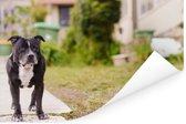 Een Staffordshire Bull Terrier loopt over de stoep Poster 180x120 cm - Foto print op Poster (wanddecoratie woonkamer / slaapkamer) / Huisdieren Poster XXL / Groot formaat!