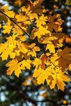 Autumn Gold Notebook
