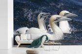 Fotobehang vinyl - Drie zwemmende jan-van-genten breedte 360 cm x hoogte 240 cm - Foto print op behang (in 7 formaten beschikbaar)
