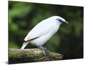 Een Balispreeuw op een houten stokje Aluminium 40x30 cm - klein - Foto print op Aluminium (metaal wanddecoratie)