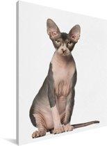 Een zittende Sphynx kat Canvas 60x80 cm - Foto print op Canvas schilderij (Wanddecoratie woonkamer / slaapkamer) / Huisdieren Canvas Schilderijen