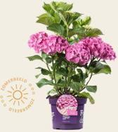 Hydrangea macrophylla 'Forever & Ever' (Roze)