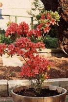 Rhododendron Azalea Blooming in a Pot Journal