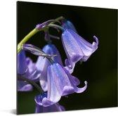 Close-up van de paarse bloemen van een sterhyacint Aluminium 90x90 cm - Foto print op Aluminium (metaal wanddecoratie)