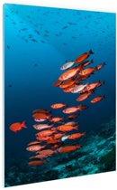 Rode vissen voor blauwe achtergrond Glas 80x120 cm - Foto print op Glas (Plexiglas wanddecoratie)