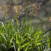 Set 12 stuks Luzula sylvatica - Grote veldbies