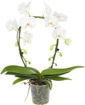 Orchidee Mirror Miracle wit 45cm hoog 2 takken