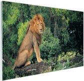 Leeuw zit op een tak Glas 90x60 cm - Foto print op Glas (Plexiglas wanddecoratie)