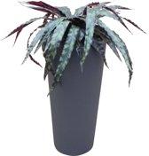 Kunstplant Calathea met sierpot Clou30 antraciet