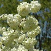 Viburnum plicatum 'Grandiflorum' - Sneeuwbal 40-60 cm in pot