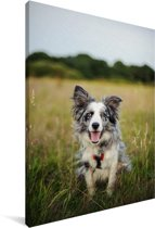 Border Collie hond liggend in het mooie gras Canvas 120x180 cm - Foto print op Canvas schilderij (Wanddecoratie woonkamer / slaapkamer) / Huisdieren Canvas Schilderijen XXL / Groot formaat!