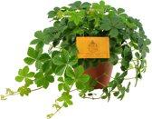 Parthenocissus striata - Verona Vein Met Sier Overpot Leuk Voor In Huiskamer Of Kantoor Aparte Hang Plant