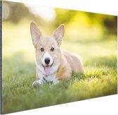 Welsh Corgi puppy Aluminium 90x60 cm - Foto print op Aluminium (metaal wanddecoratie)