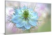 Close-up van een enkele en kleurrijke nigelle plant Aluminium 30x20 cm - klein - Foto print op Aluminium (metaal wanddecoratie)