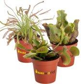 Swampworld Mini Vleesetende Planten Mix P6 - 3 Stuks + Gekleurde Potjes