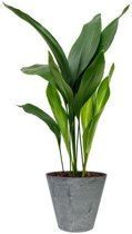 Aspidistra in Artstone pot