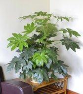 Fatsia japonica - Vinger Plant - Kamerplant - Huis of Kantoor Plant