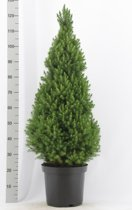 Kerstboom - Picea glauca 'Conica'; Totale hoogte 100-120cm incl. Ø 26cm pot | A1- Kwaliteit