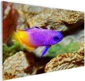 Paars-gele vis onder water Glas 30x20 cm - klein - Foto print op Glas (Plexiglas wanddecoratie)