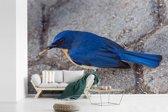 Fotobehang vinyl - Een blauwe Azuurvliegenvanger staat op de stenen breedte 600 cm x hoogte 400 cm - Foto print op behang (in 7 formaten beschikbaar)