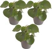 Pannenkoekplant (Peperomia) - plant is 25 cm hoog - geleverd in plastic antraciet sierpot - per 3 stuks