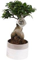 Bonsai Ficus Ginseng (witte pot), 40 CM hoog