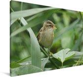Een kleine karekiet is aan het zingen tussen de planten Canvas 120x80 cm - Foto print op Canvas schilderij (Wanddecoratie woonkamer / slaapkamer)